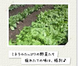 ミネラルたっぷりの野菜たち採れたての味は、格別!
