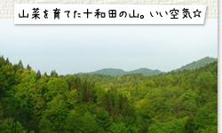 山菜を育てた十和田の山。いい空気